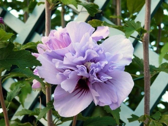 Double Purple Rose of Sharon Tree in 2020   Hibiscus tree, Rose of sharon tree, Hibiscus