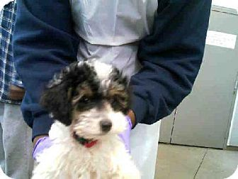 Dallas Tx Poodle Miniature Mix Meet Rocky A Puppy For