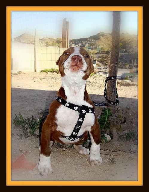 Un American Pitbull Terrier Hembra American Pitbull Terrier