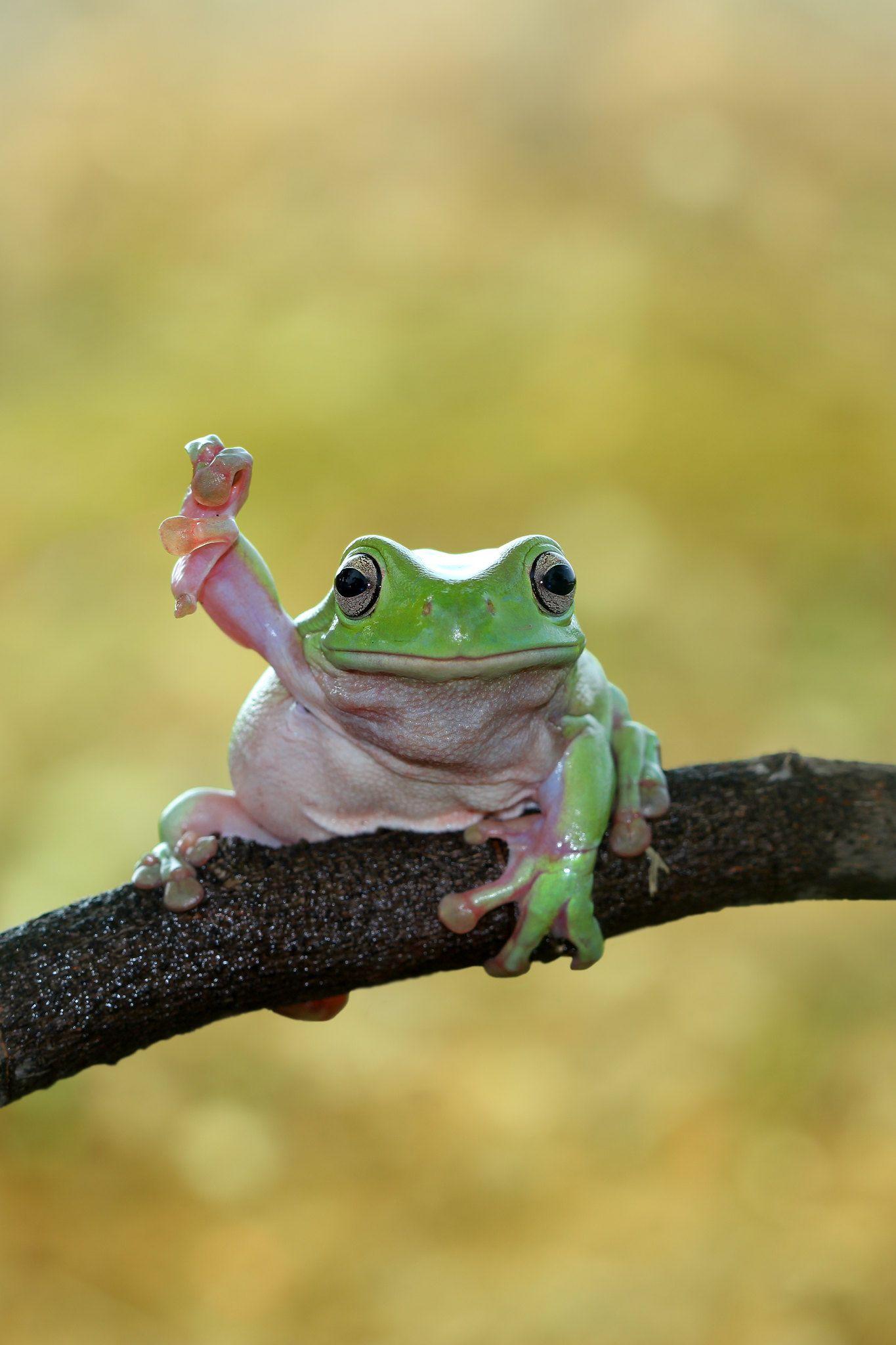 Dumpy frog in 2020 Pet frogs, Frog, Cute frogs