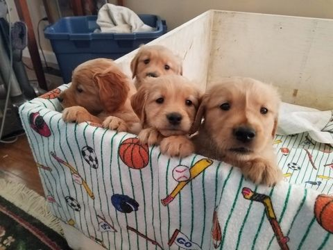 Golden Retriever Puppy For Sale In Crawfordsville In Adn 48595