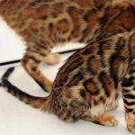 Bengal cat funny