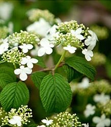 Viburnum Plicatum Mariesii Japanese Wedding Cake Tree Lisa Blum
