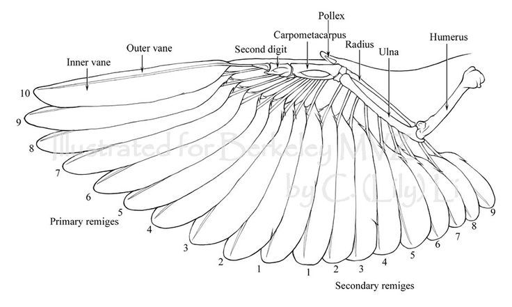 Bird Wing Skeleton Sparrow Pinterest Anatomy
