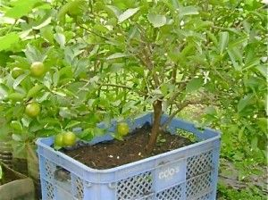 6bd12cbba343cf230364761ff9b23e2c - How To Use Plastic Containers For Gardening