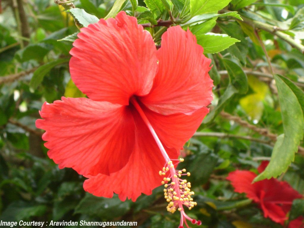 Every part of the hibiscus is beneficial the mucilaginous leaves hair health every part of the hibiscus is beneficial the mucilaginous leaves are emollient and also act izmirmasajfo