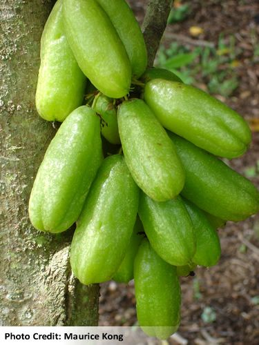 The Bilimbi Cuber Tree Averrhoa Is Native To Indonesia And A