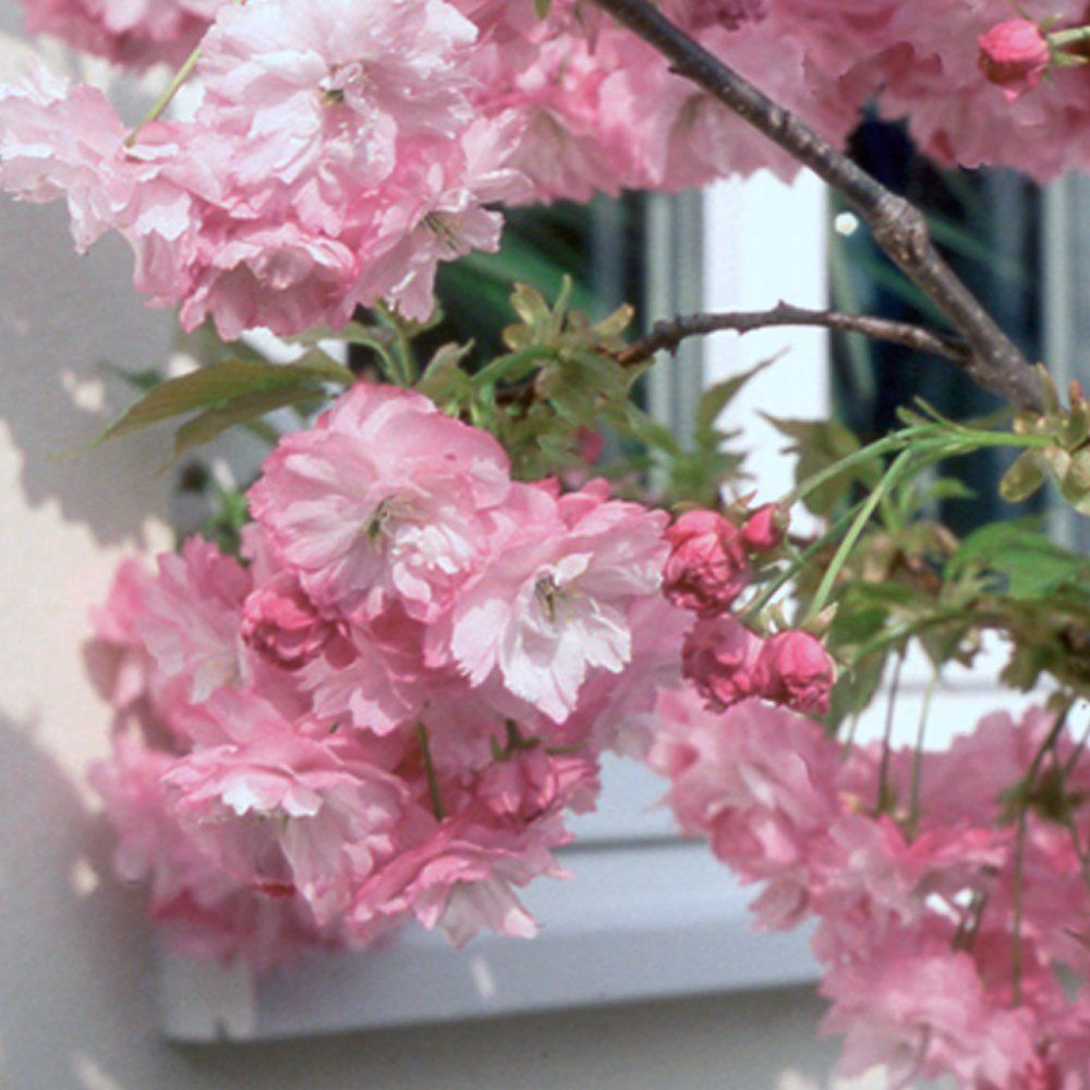 Dwarf Pink Flowering Cherry Tree In The Pink Pinterest Prunus