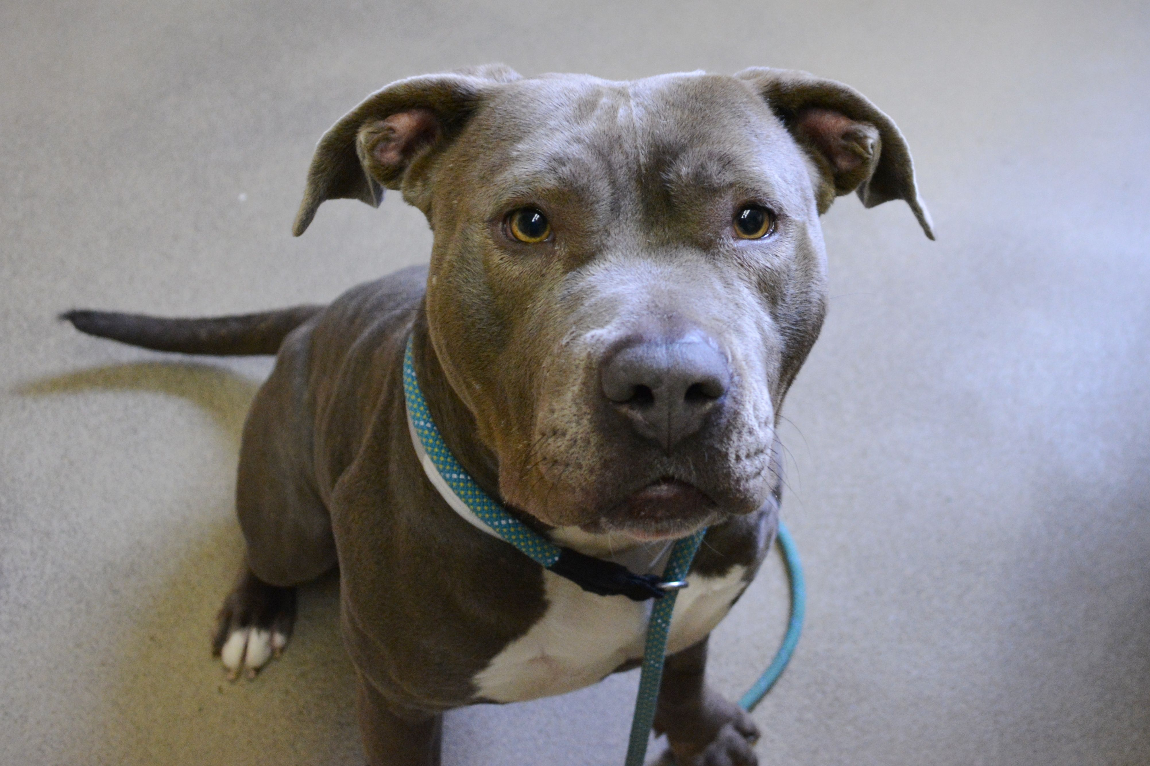 Crystal is a happy female blue pittie who is between two