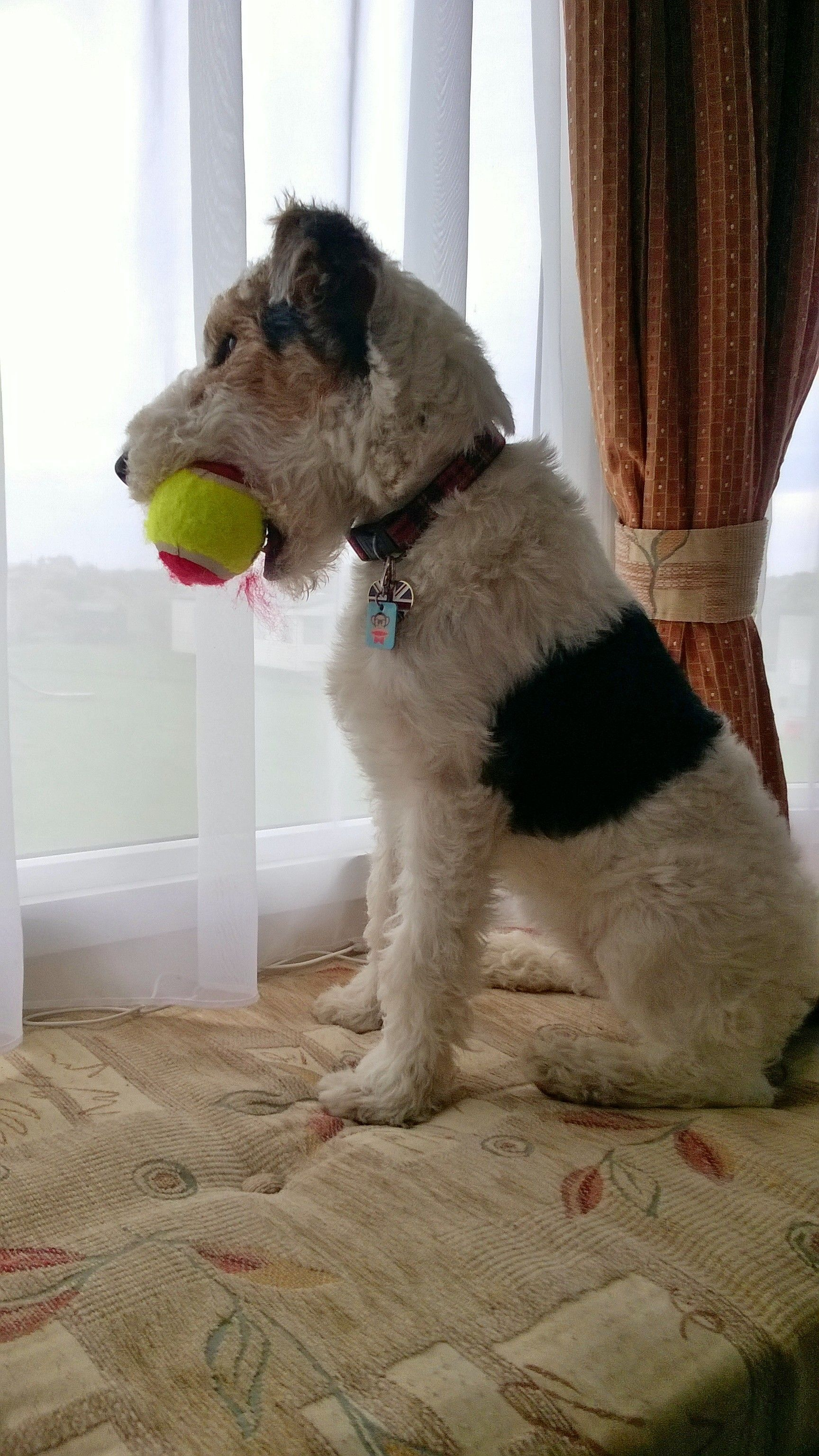 ◔◡◔) Holly Waiting..   Naughty puppies   Pinterest   Fox terriers ...