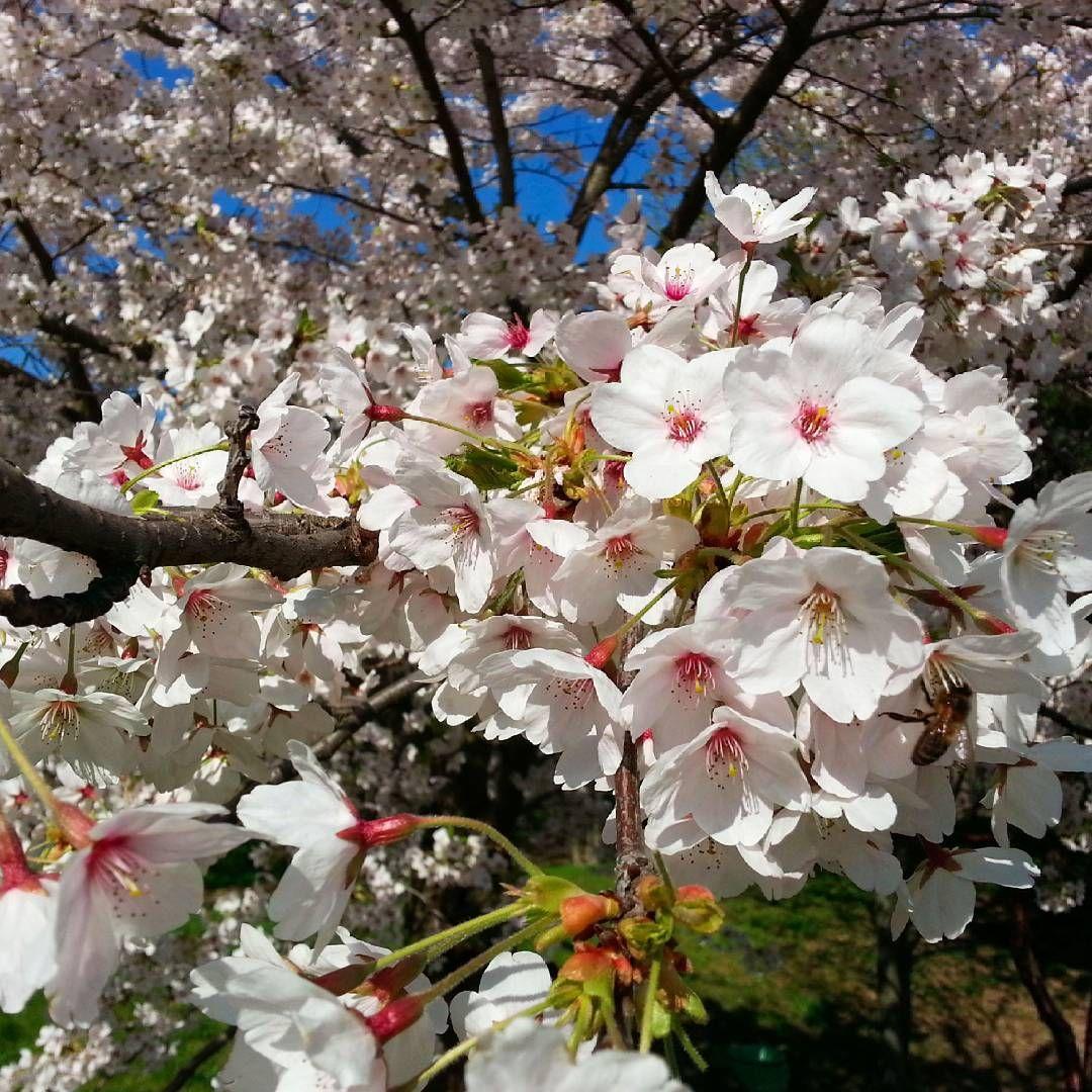 Cerisiers en fleurs dans un jardin parisien #fleursdecerisier #cherryblossom #leprintempsaparis #springtimeinparis #lesfilmsduchatroux