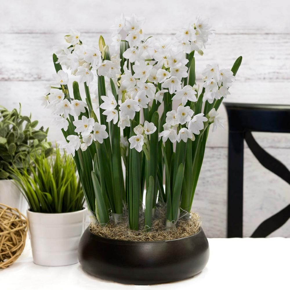 Paperwhite narcissus are easy to grow indoors. This gift