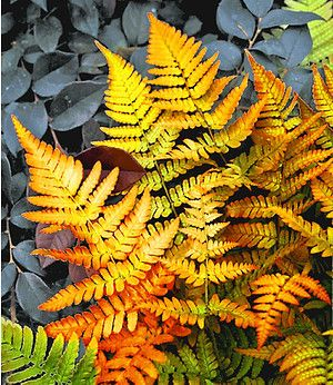 Schmuck Farn Golden Brilliant1 Pflanze Garten Ferns Garden