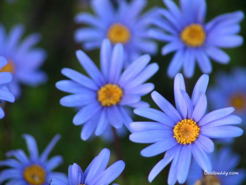 blue flower wallpaper #blueflowerwallpaper blue flower wallpaper #blueflowerwallpaper