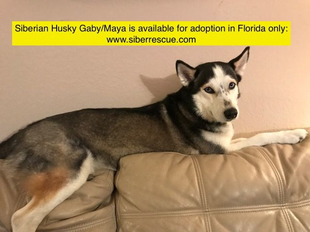 Florida Siberian Husky Gaby Maya Is Available For Adoption In