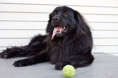 Black Lab Great Pyrenees Mix You Will Be Mine Some Day Great