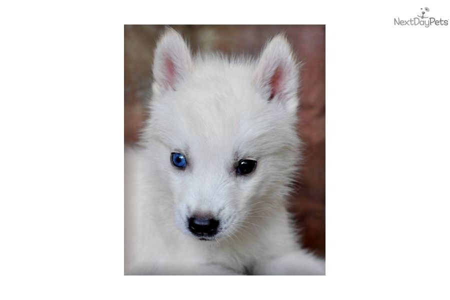 Alaskan Klee Kai Mini Husky
