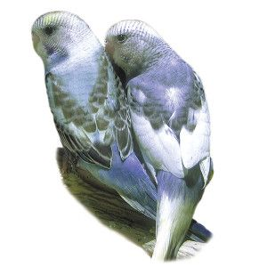 Rare Parakeet Petsmart Pet Birds Birds For Sale Petsmart