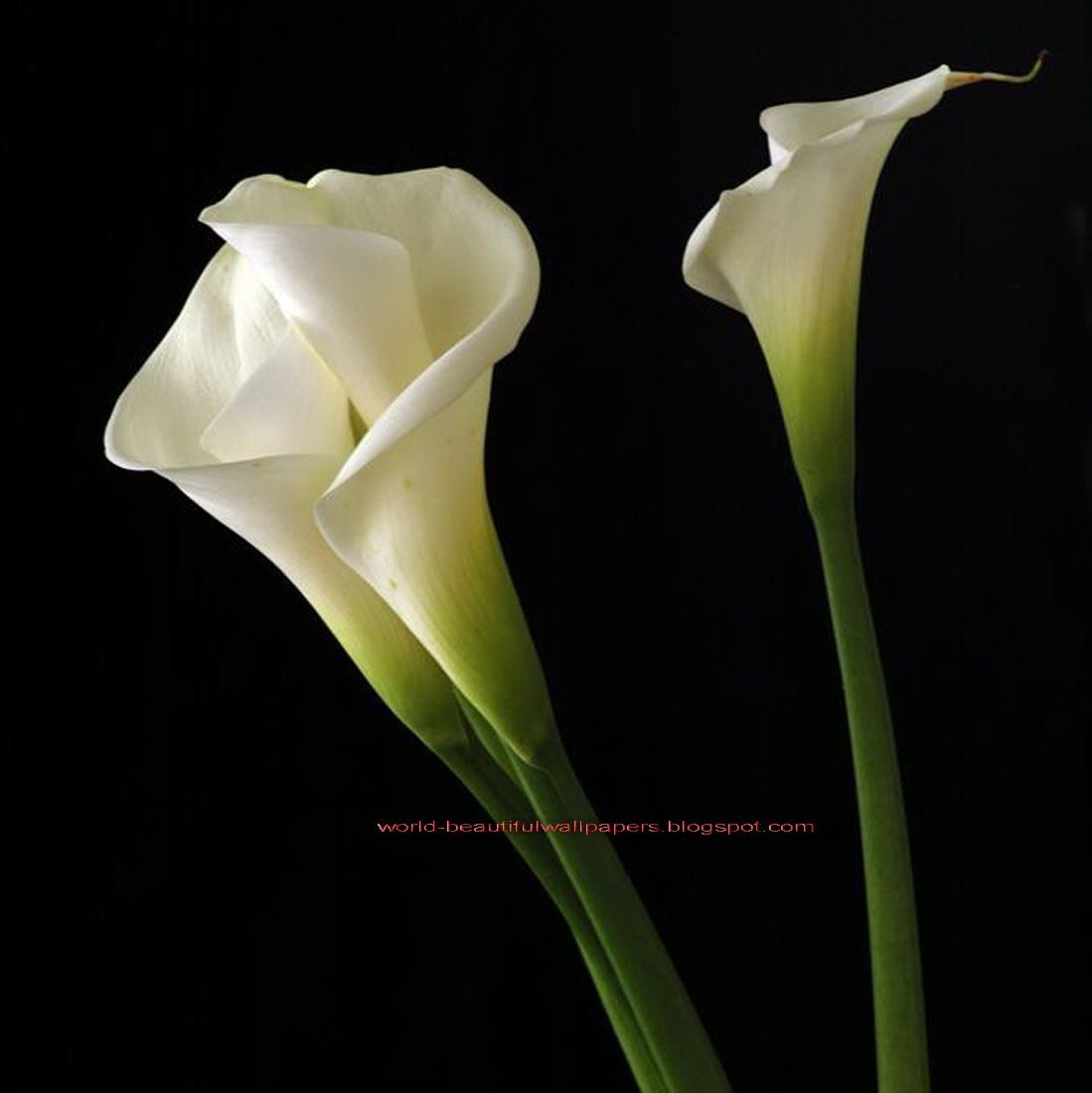 Calla lily hd wallpapers free download new hd wallpapers download calla lily hd wallpapers free download new hd wallpapers download izmirmasajfo