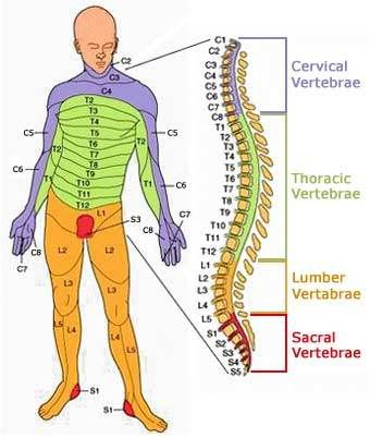 back vertebrae numbers - Google Search | Nurse Practitioner ...