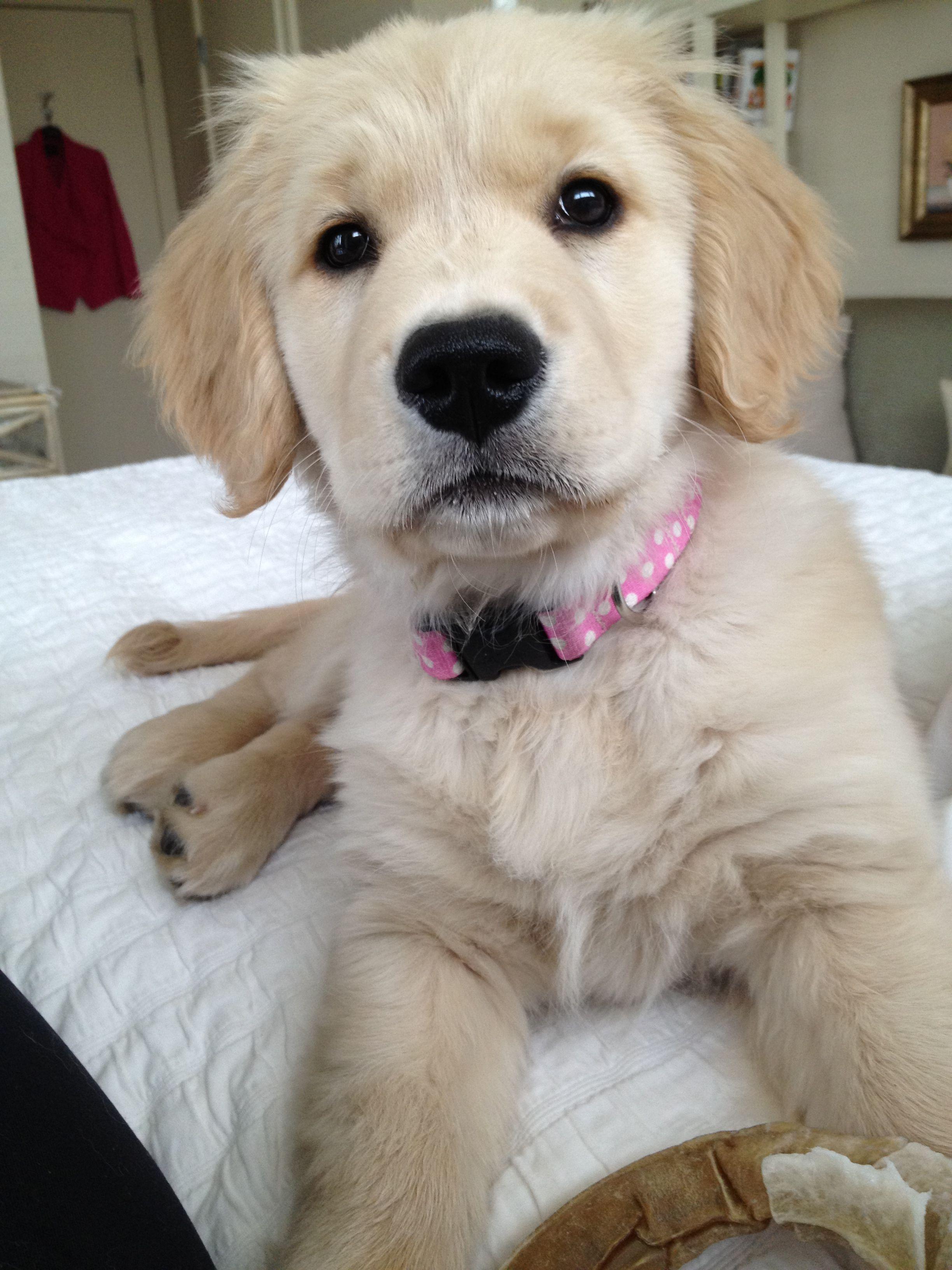 Cindy Lou Who Golden retriever, Retriever puppy, Cute