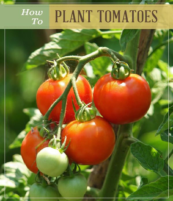 How To Plant Tomatoes Tomato Garden Garden Seeds Plants 400 x 300