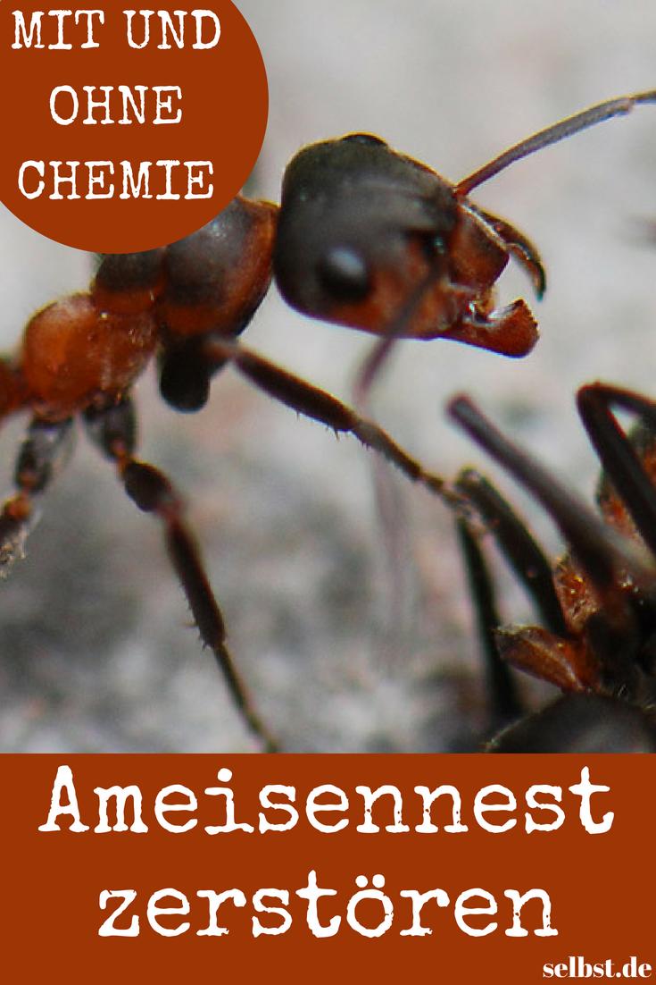 Ameisen Vernichten Selbst De Ameisen Buchsbaumzunsler Insekten