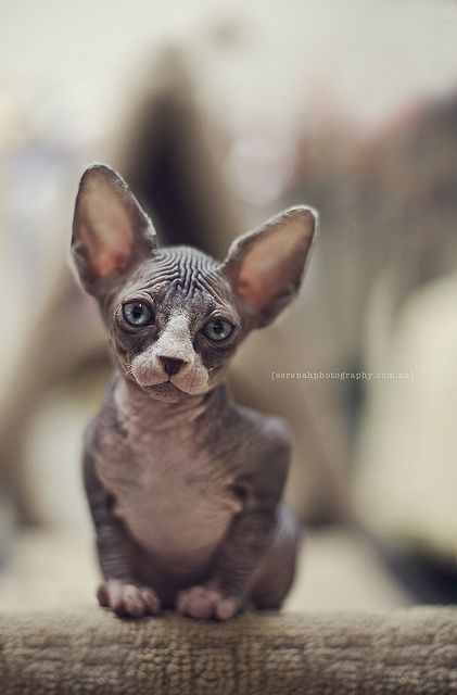 Hairless cat's weird Adam out but I so want one :) | hair