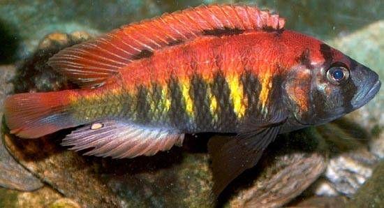 Protomelas Taeniolatus Red Empress Cichlid Humphead Cichlid Aquarium Fish Cichlid Fish Cichlids