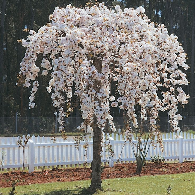 Weeping Cherry Nz Google Search Garden Plant Identification
