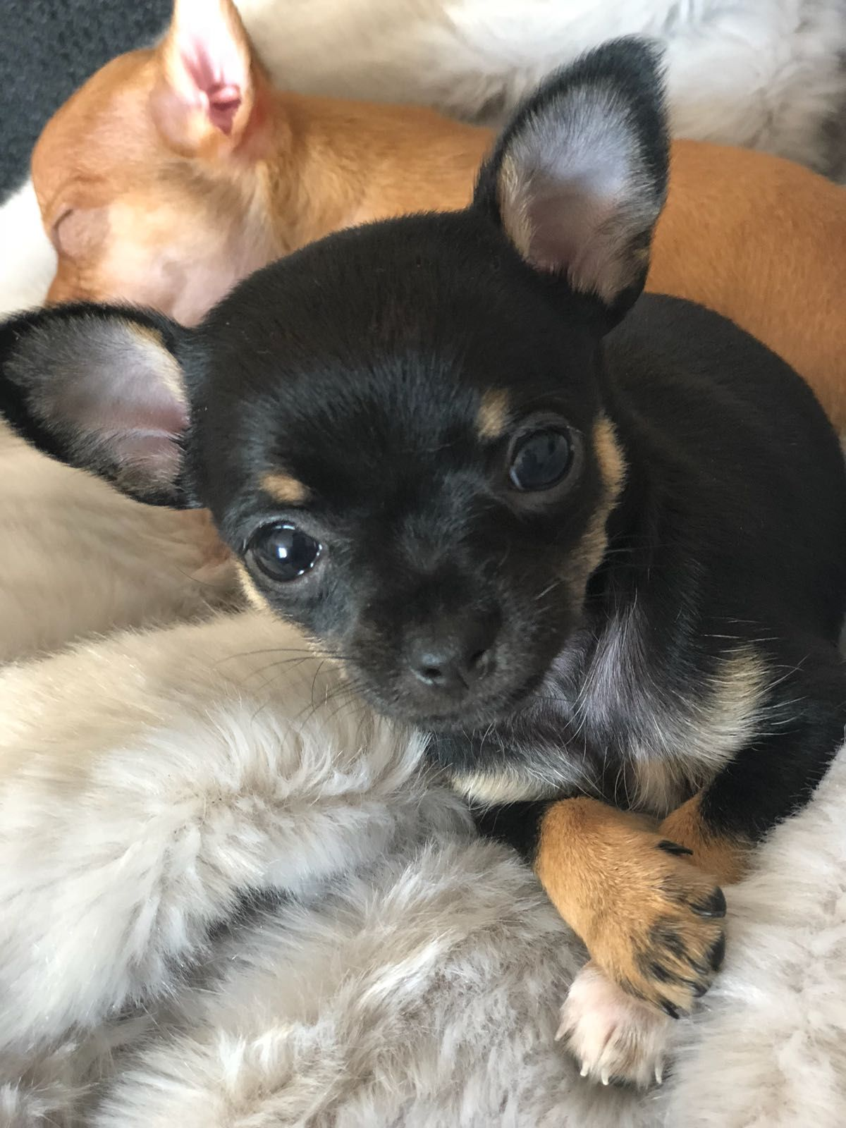 best food for chihuahua puppy australia