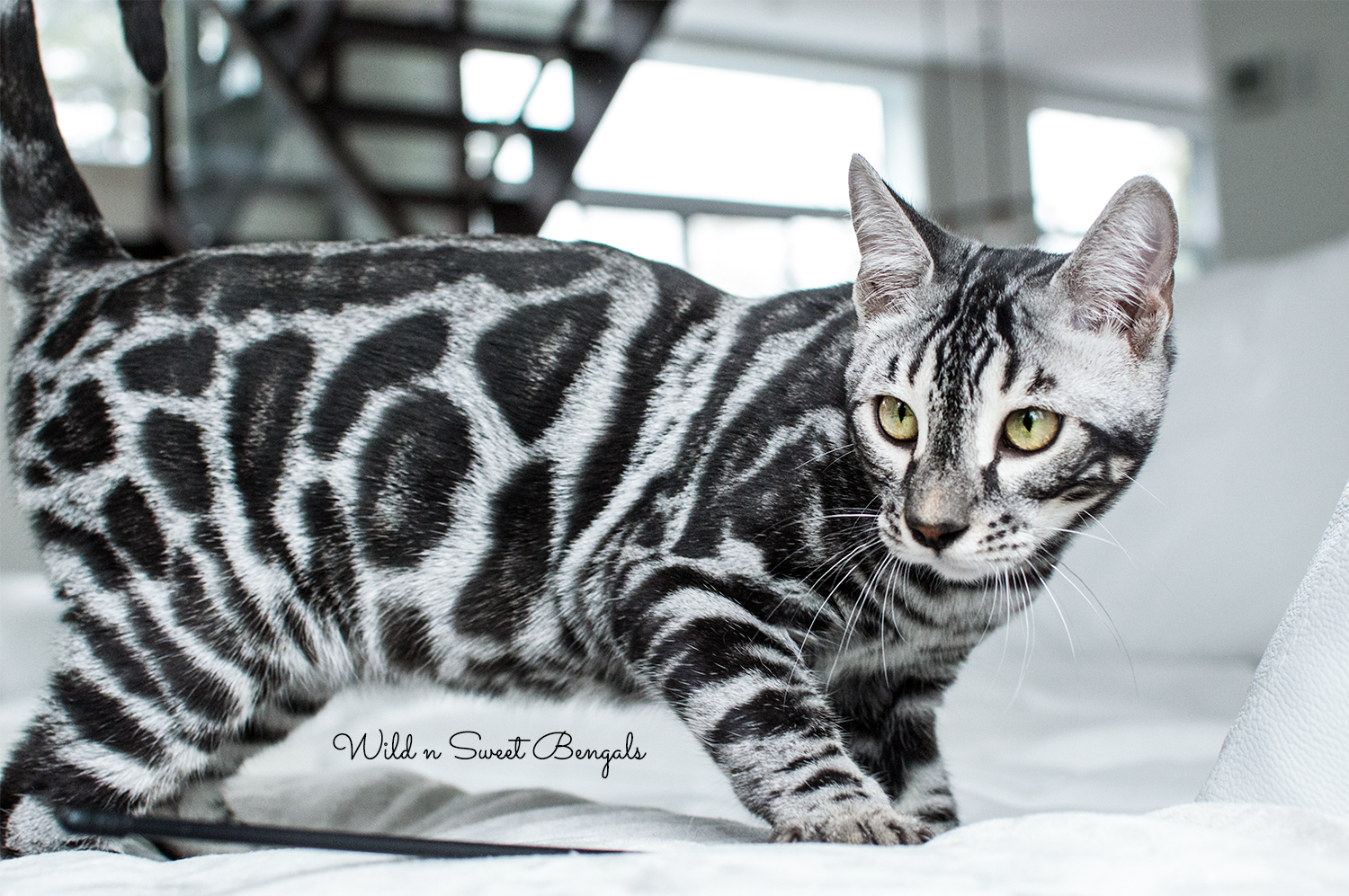 Discover Our Breeding Bengal Cats Wild Sweet Bengals Bengal Kitten Bengal Cat Silver Bengal Cat