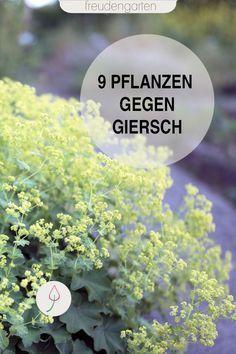 Giersch bekämpfen #kräutergartendesign