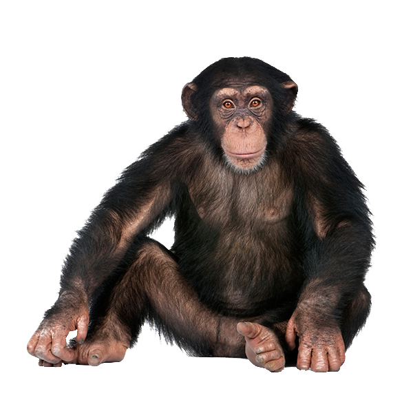 Image result for monkey Chimpanzee