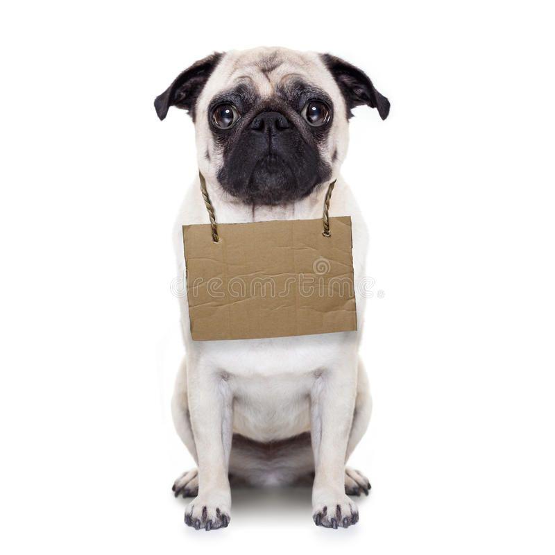 Homeless Dog Lost Homeless Pug Dog With Cardboard Hanging Around