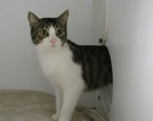 Holly is an adoptable Domestic Short Hair Cat in Queenstown, MD. Holly is a young tabby. Very inquisitive and playful...