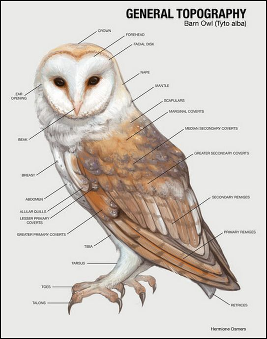 BARN OWLS Range A ll four of the Southwestern deserts. The ...