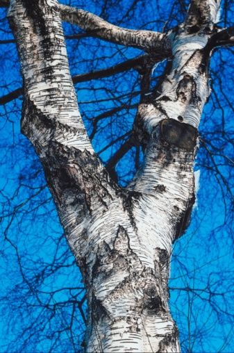 How To Preserve Birch Tree Branches Diy