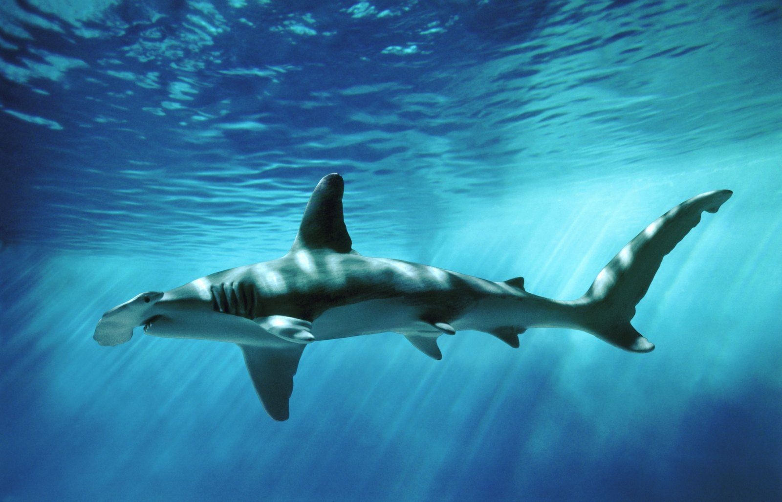 great hammerhead shark pictures - HD1280×822