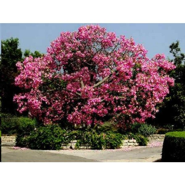 Tree Seeds And Shrubs Seeds Plants For Planters Tree Seeds Ceiba