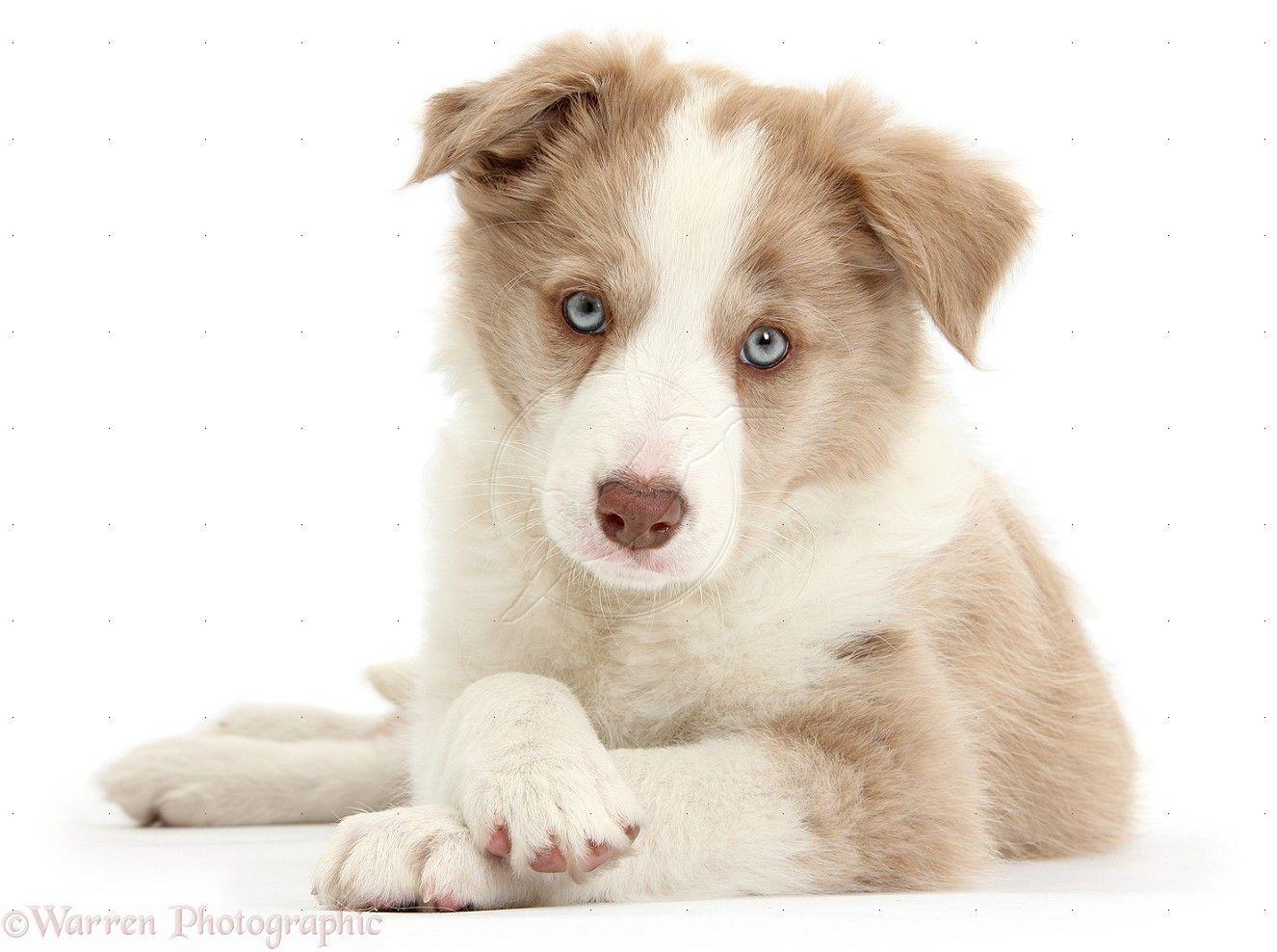 Border Collie Puppies Near Colorado