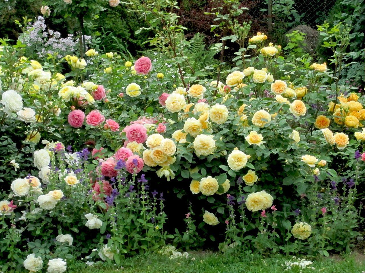 39 crocus rose 39 39 jubilee celebration 39 39 teasing georgia. Black Bedroom Furniture Sets. Home Design Ideas