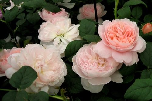 Queen of Sweden - English Rose