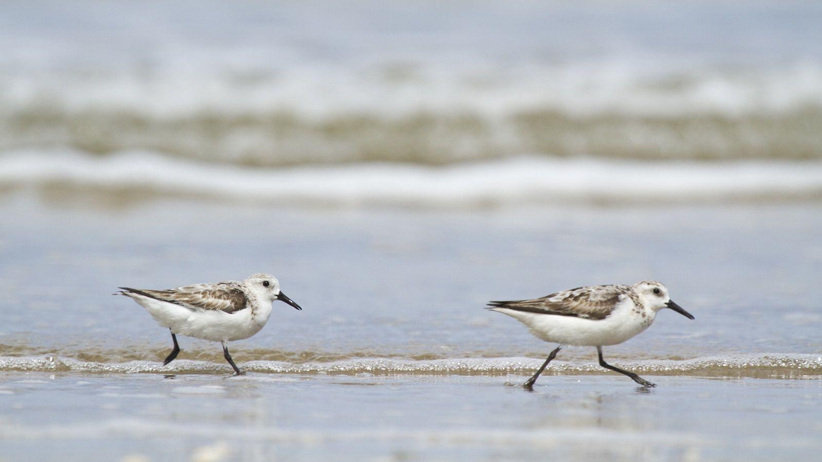sanderlings.jpg (1600×899)