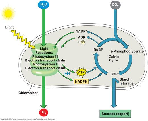 Stages Of Photosynthesis Diagram Bing Images Biology Pinterest