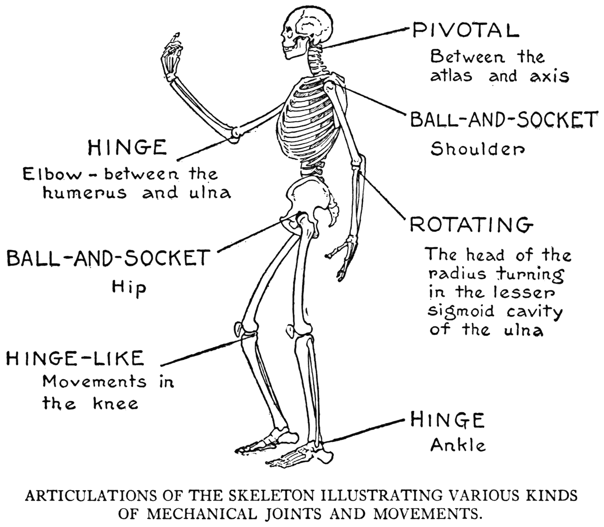 examples of a hinge joint in the human body - Google Search ...