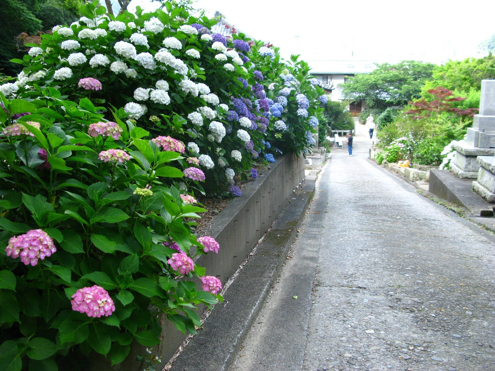 The Hydrangea Is Known In Japanese As The Ajisai Of Its Over 70 Species Most Of Them Are Native To China Korea And Hydrangea Season Hydrangea Seaside Towns