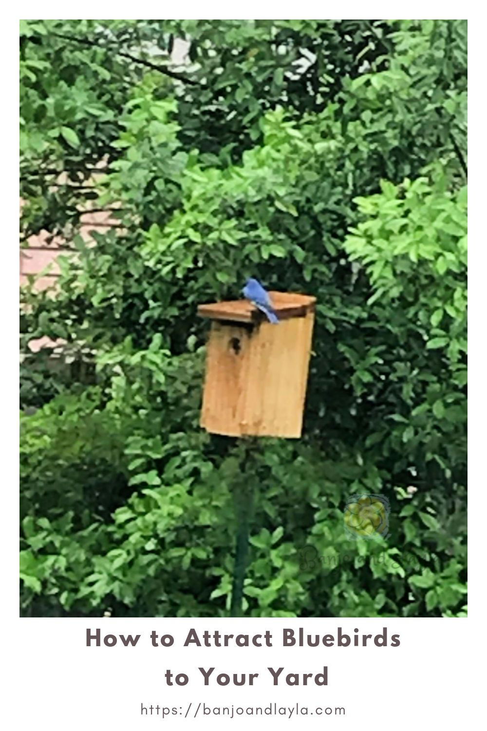 How to Attract Bluebirds to Your Yard in 2020   Blue bird ...