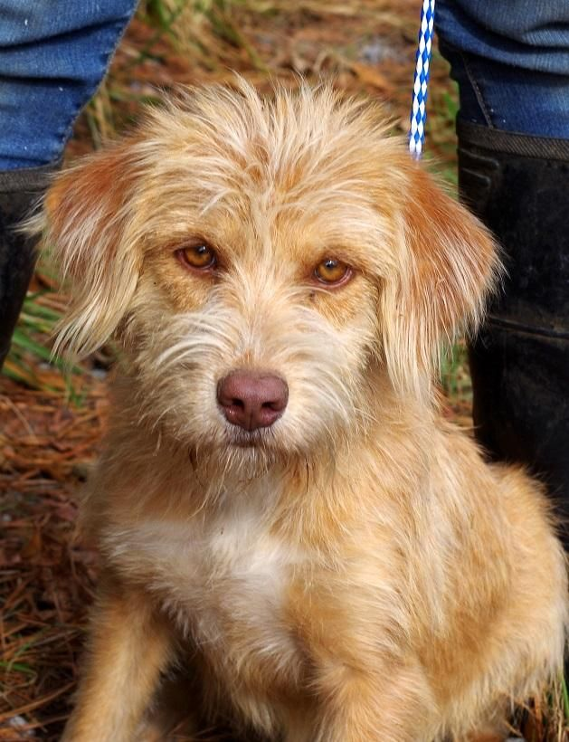 Adopt Ellie In Philly Lower Fee On Dog Adoption Kitten Adoption Standard Schnauzer