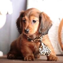 Jake Dachshund Puppy Puppy Facts Dachshund Dachshund Puppies